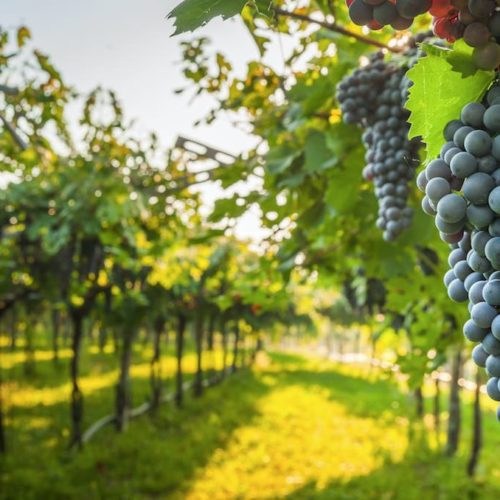 Ayuda a la reestructuración y reconversión de viñedo (2020)